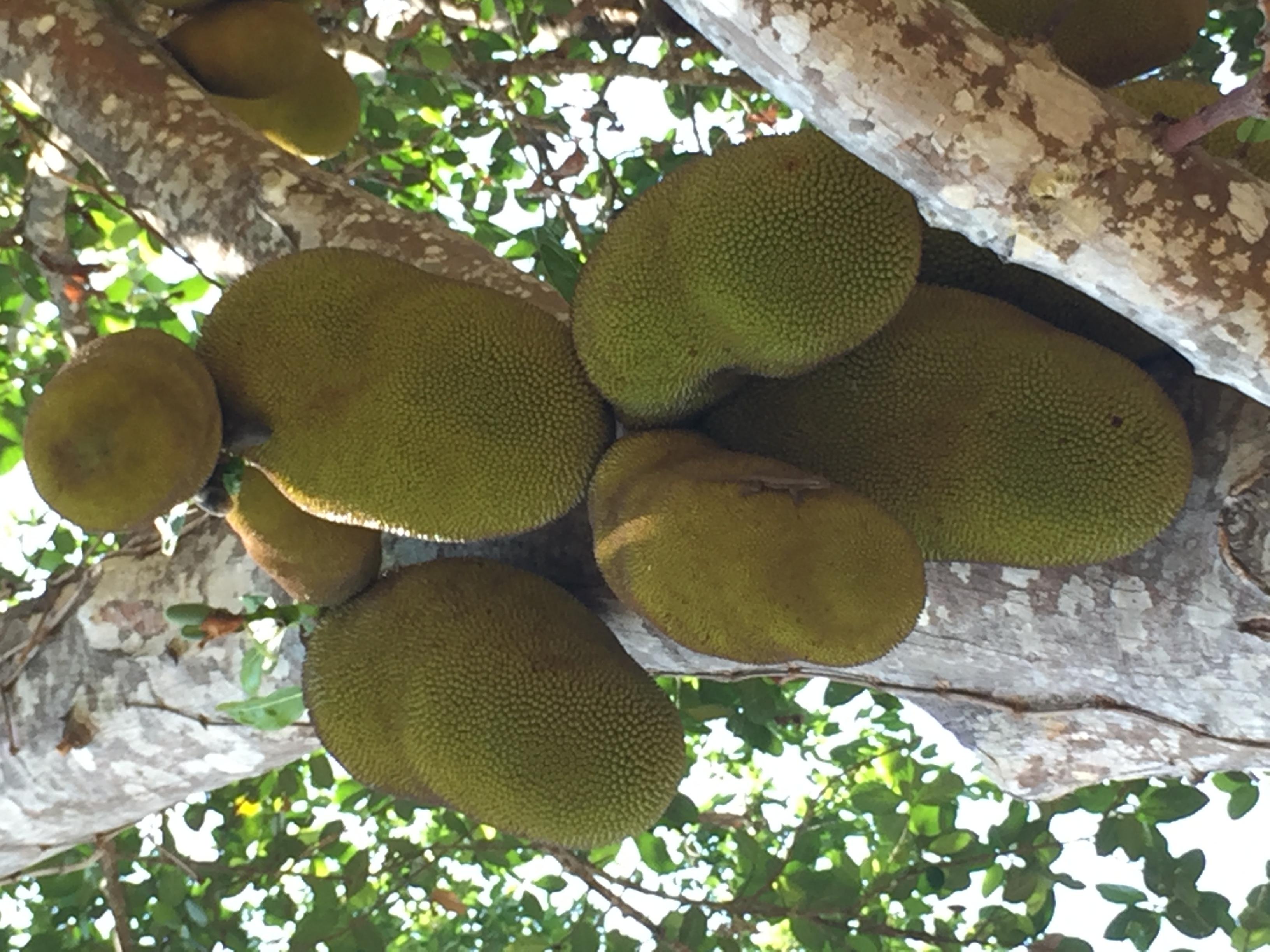 Zeigte uns die größten Jackfruits, die wir je sahen.