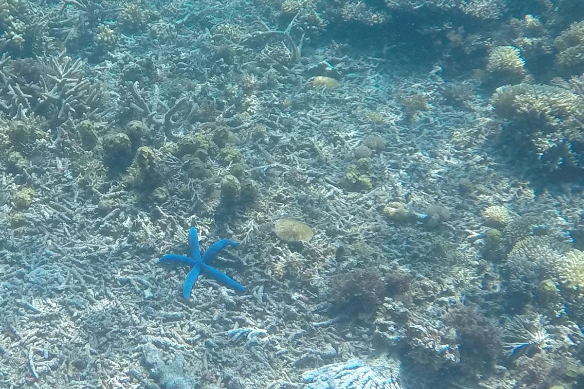 Blaue Seesterne unter Wasser entdecken.