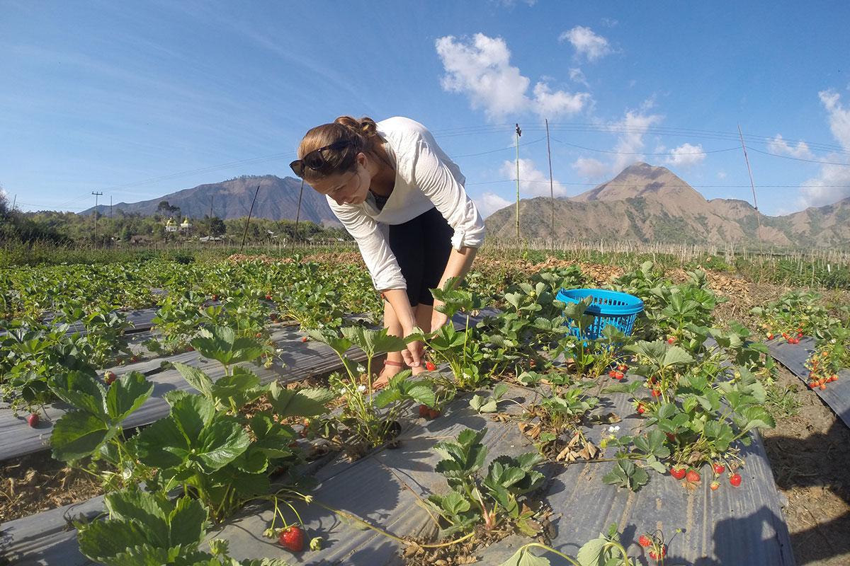 Frische Erdbeeren am Fuße des Vulkans pflücken.