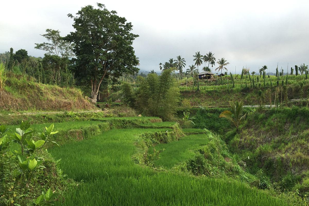Das satte Grün der Reisfelder fotografieren.