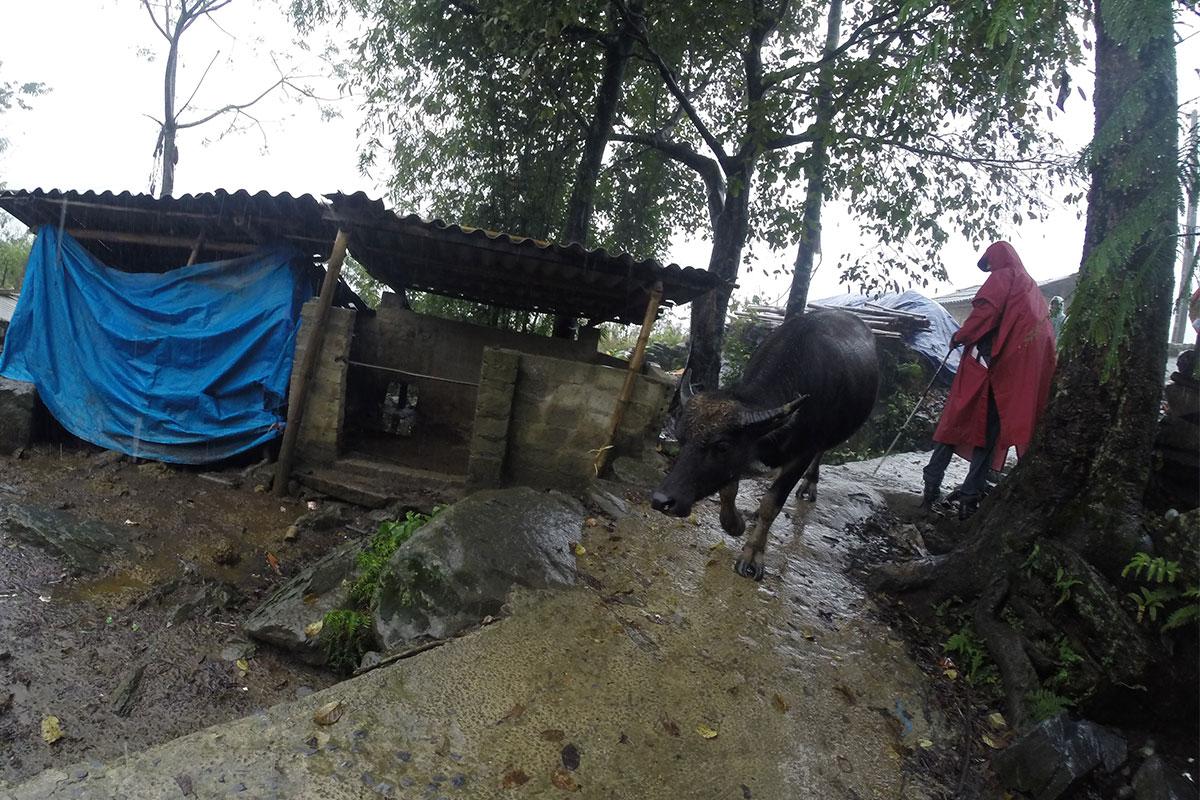 Ein beliebtes Trekking-Spiel in Sapa: Wasserbüffelausweichen.
