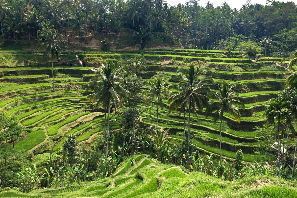 reisterrassen-tegalalang-Tempeltour-in-Bali-reistreppen