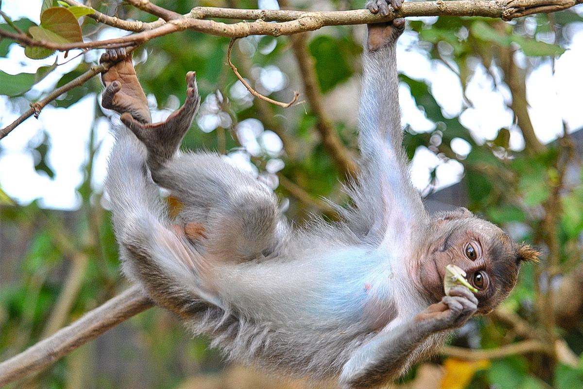 Affe-haengt-am-Baum-Monkeyforest-Ubud-Bali-Indonesien