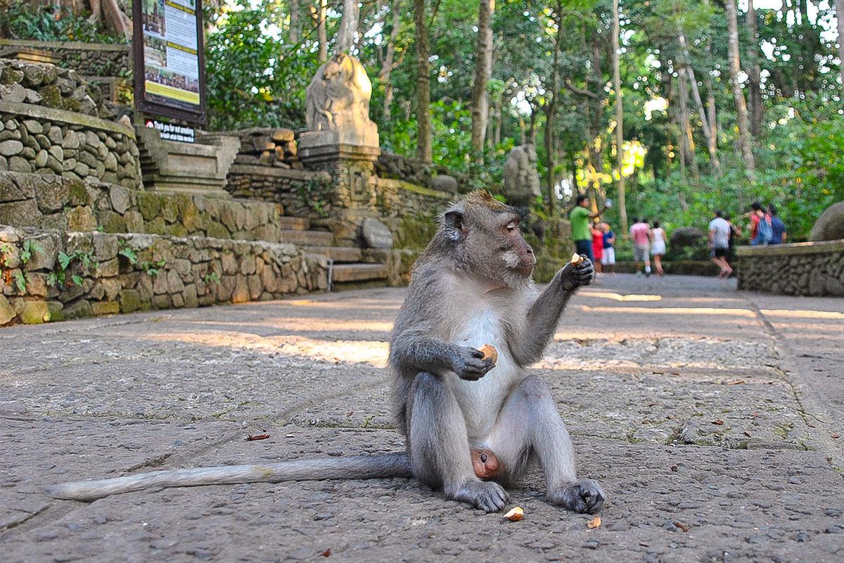 Affe-isst-Money-Forest-Ubud-Bali-Indonesien
