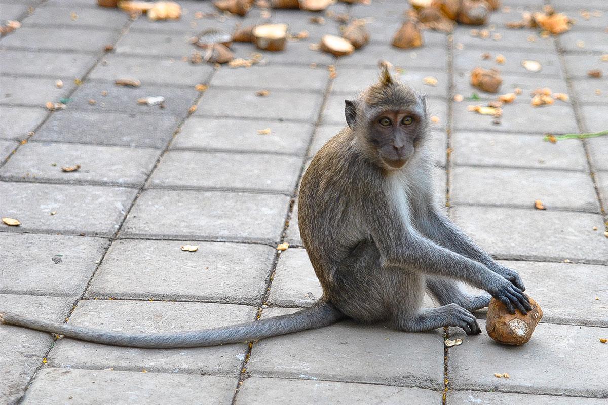 Bei den Makaken muss man immer achtsam sein, dass sie einem Nichts stibitzen.