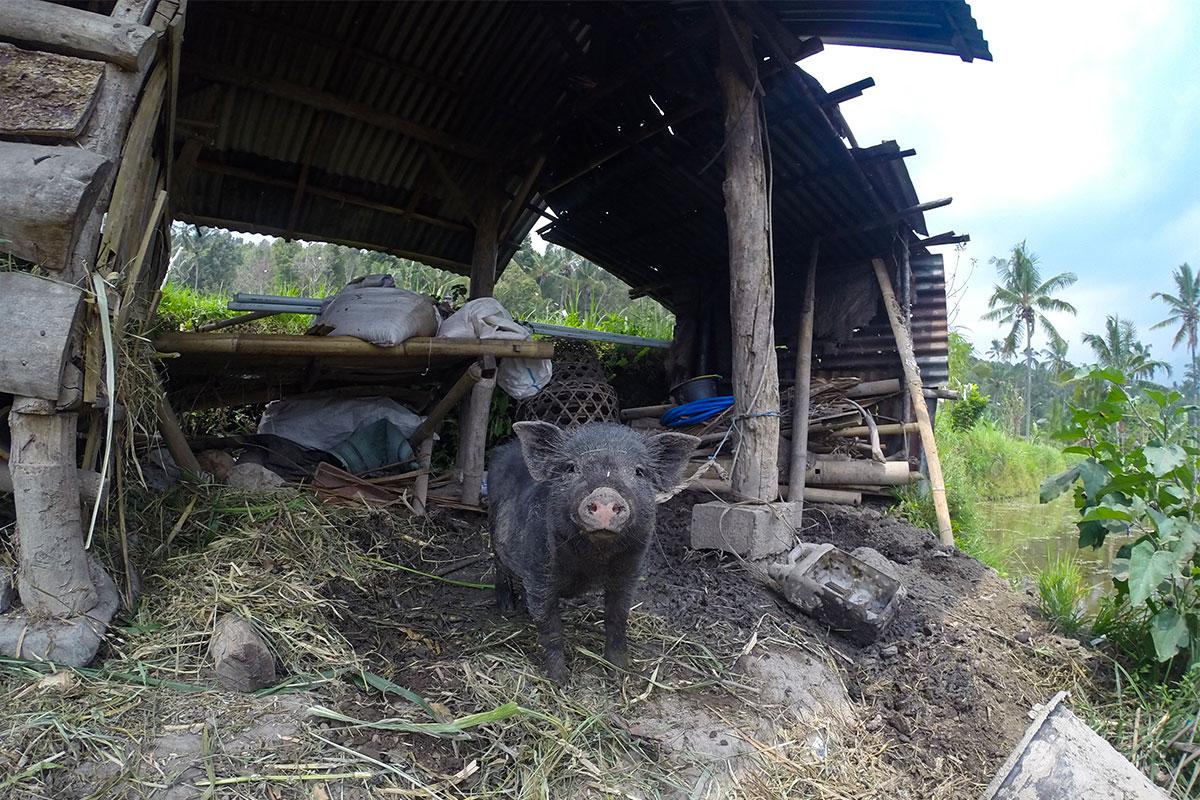 Oink-Oink.