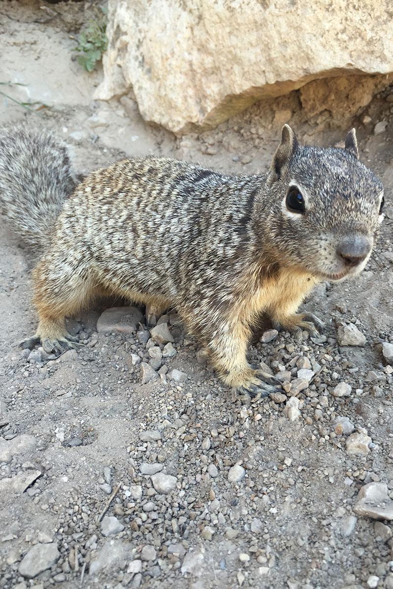 Ein waschechtes Grand Canyon Eichhörnchen.