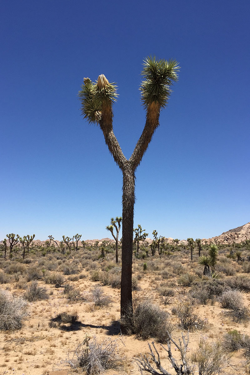 joshua-tree-alone-joshua-tree-nationalpark-kalifornien-usa