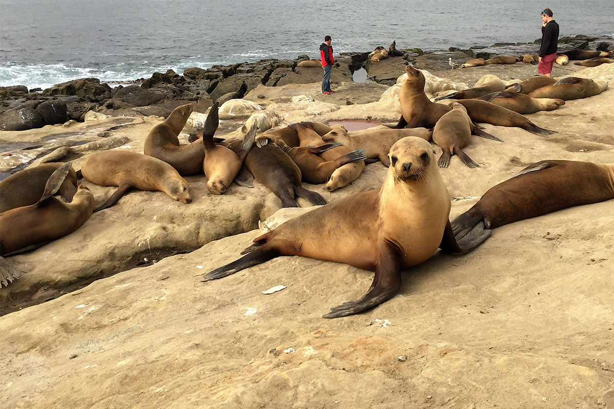 sea-lions-la-holle-beach-usa-kalifornien