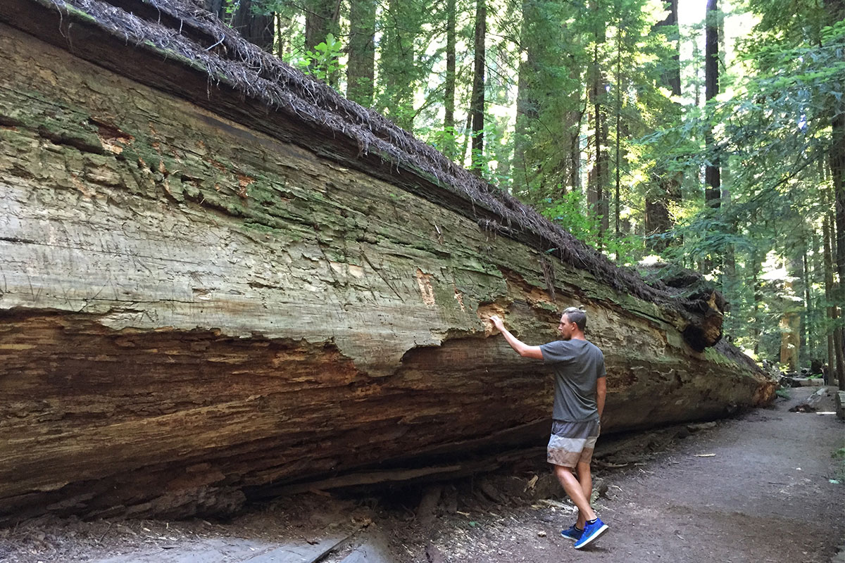 Gigantische Baumriesen in der Avenue of the Giants.